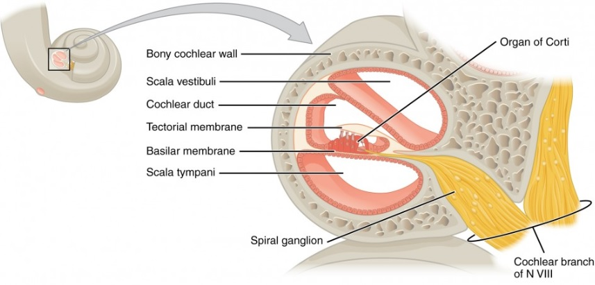 Cross section of the cochlea with sections to investigate for immune response.